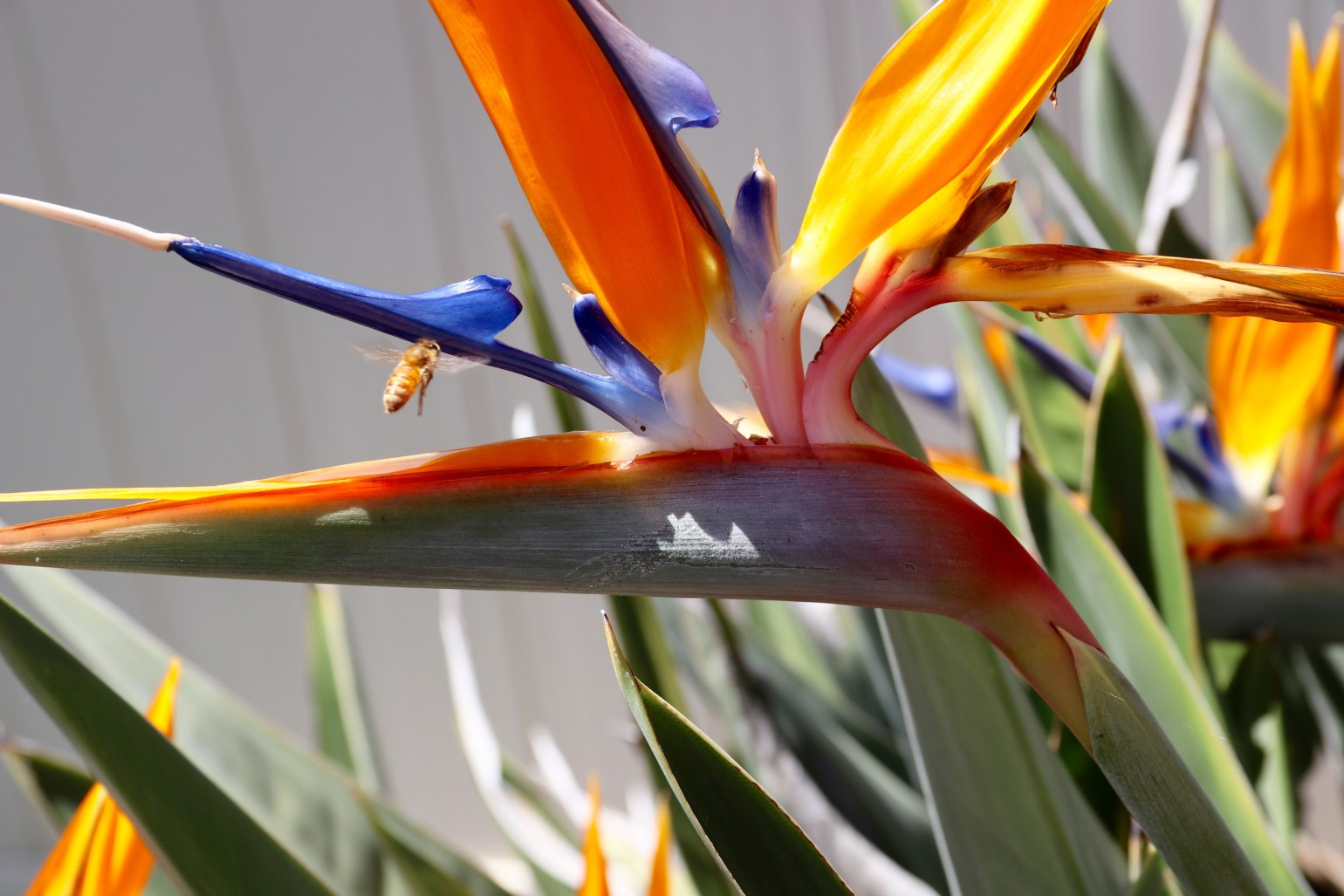 BEE + Bird of Paradise - 1 (1)