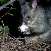 What Do Possums Eat? – Possum Diet and Eating Habits