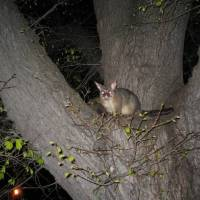 Do Possums Eat Snakes? – Possum Snake Relationship
