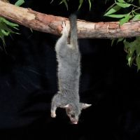 Do Possums Hang by their Tails? – Possum Tails