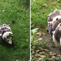 How Many Babies Can a Possum Have? – Possum Reproductive Biology