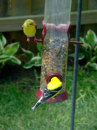 Male and female Goldfinches outside window with cat seat.