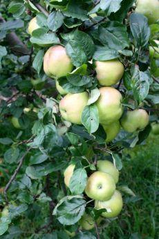 Apfelbaum.