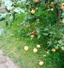 Wir haben soviele Äpfel, der Baum lässt sie schon fallen!