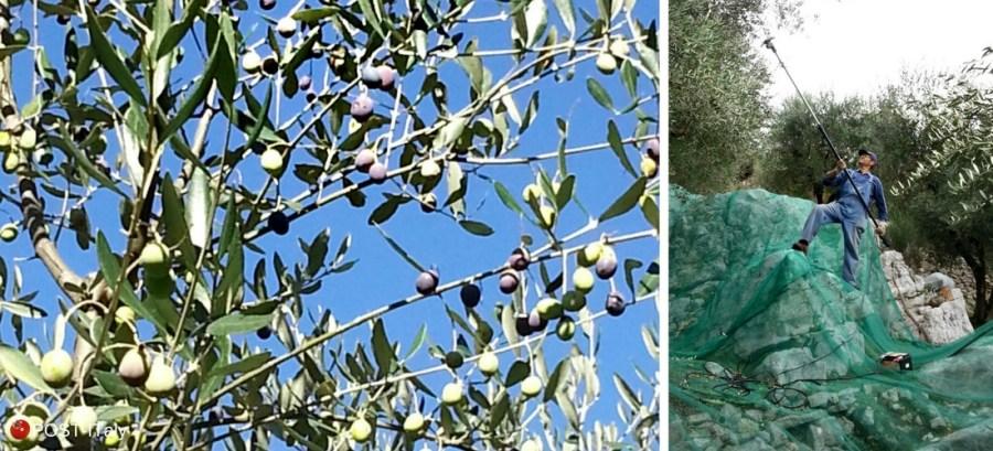 azeitonas na Itália
