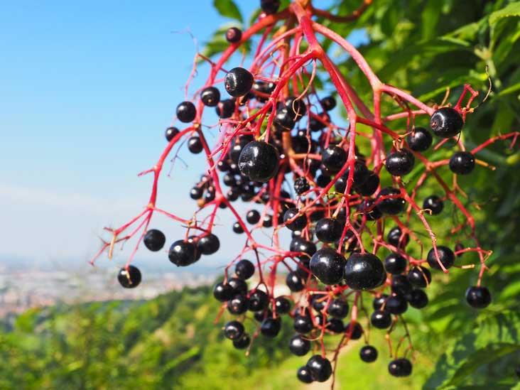 Aronia Berries Chokeberries Nutrition Benefits And More
