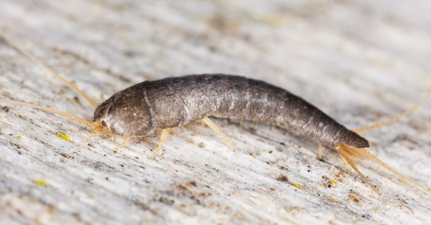 Do Silverfish Bite? Facts, Myths, and How to Get Rid of Them
