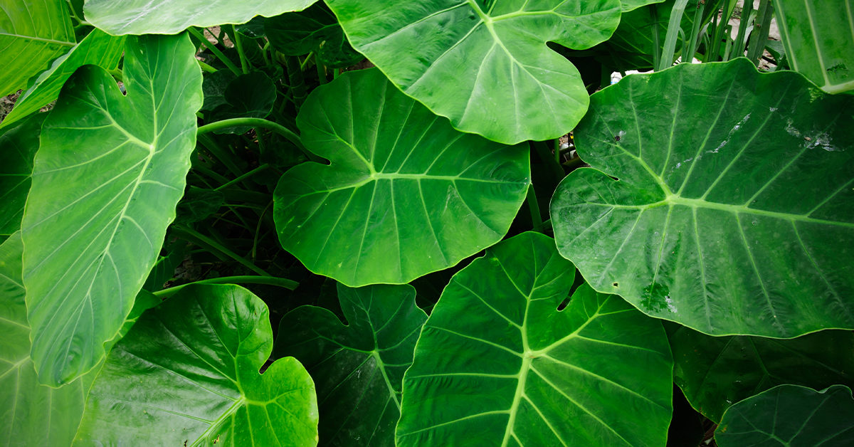 Taro Leaves Nutrition Benefits And Uses