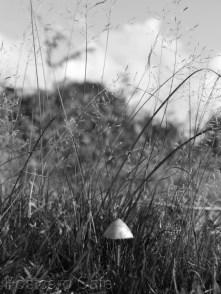 5. Fungi, Longshaw 2014 - Paneolus spp