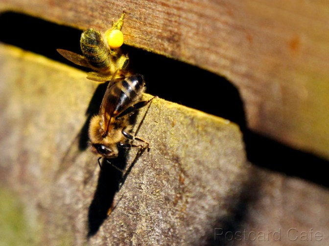 Honey Bees - Sheffield 2015