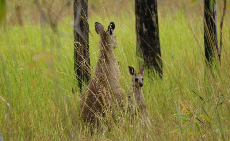 kangaroos in long grass