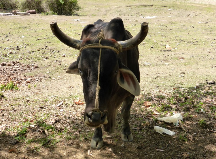 In Cuba cows cannot be killed by anyone but the government, no exceptions to the rule.