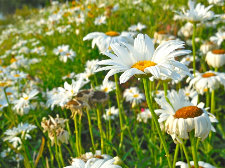 Wildflowers and daisies in our back yard in Crete, NE. (Photo by Ann Teget)