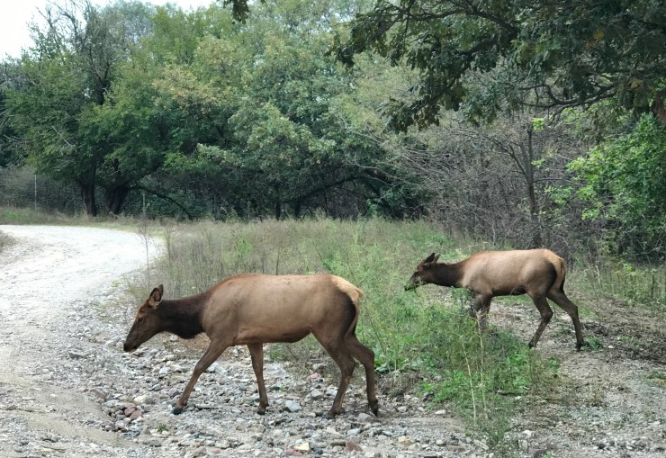 Elk at the Lee G. Simmons Conservation Park & Wildlife Safari.