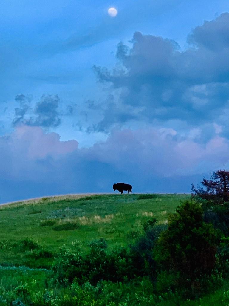 bison at dusk in Theodore Roosevelt National Park South Unit