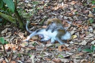 Makaken, Gunung Leuser National Park