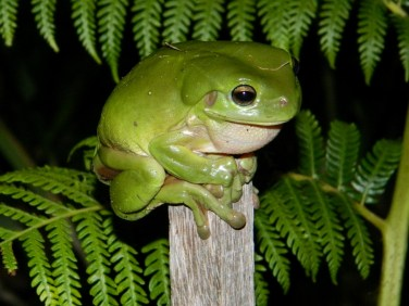 Green Tree Frog (1280x960)