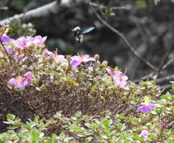 Giant Bumble Bee