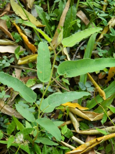 Lemon Scented Eucalyptus sapling