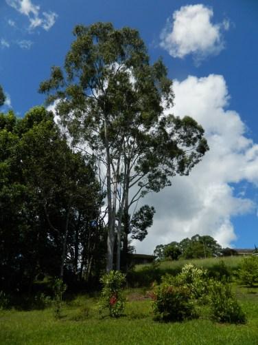 Mature Lemon Scented Eucalyptus