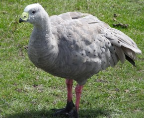 A no longer endangered Cape Baron Goose