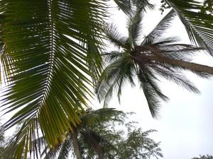 Palm Trees, Thailand