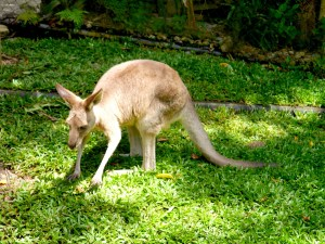 Cairns, Australia, Wallaby