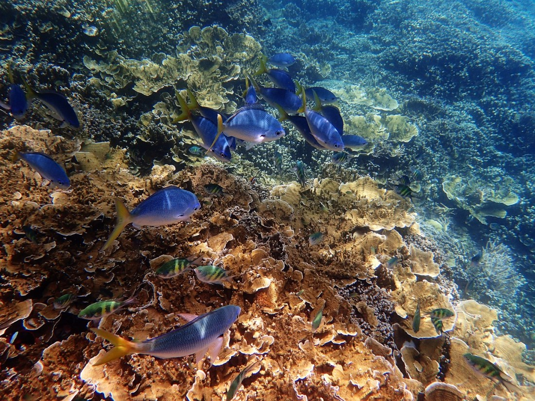 Great Barrier Reef, Diving, Underwater, Fishes