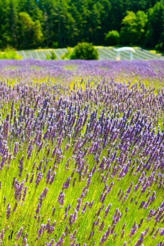 Lavendar fields on San Juan Island in Washington State.