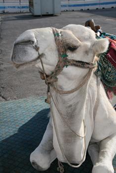 Cute camel.