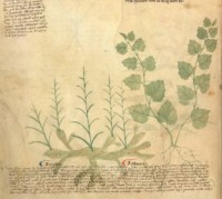 Miniature of a zinziber, or ginger plant (left) with a zedoary, or turmeric plant, from a medieval herbal, Egerton MS 747, f. 105v