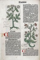 Chervil and cardamom plants, from medieval manuscript 1491