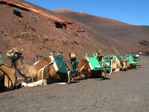 Lanzarote - Camellos