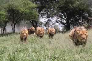 lion-charge-1641544_1280-300x200 La primera responsabilidad del líder