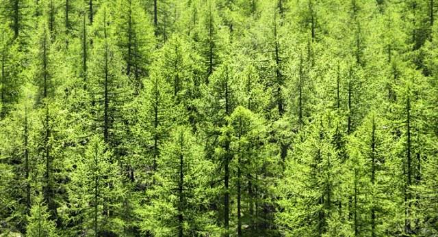 Pinos-abetos-absorben-mas-gases-efecto-invernadero