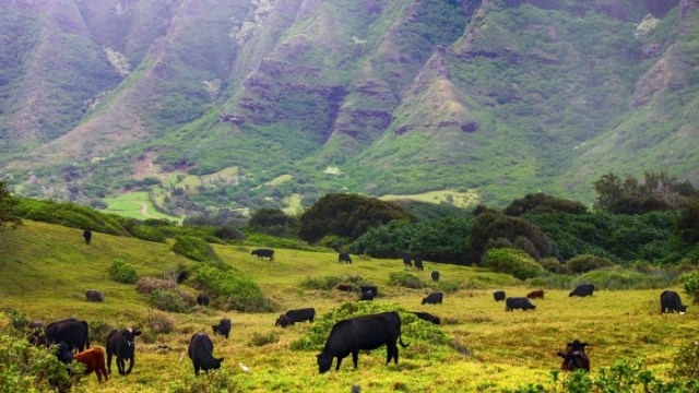 security-cows-will-guard-a-hawaiian-cannabis-farm[1]