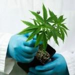 Cannabis mejora el rendimiento cognitivo y reduce el uso de medicamentos recetados