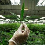 Marihuana legal podría superar a la industria manufacturera en la creación de empleos para 2020