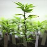 AEROPONÍA: USAR AIRE PARA CULTIVAR PLANTAS DE MARIHUANA SALUDABLES