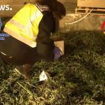 España: el huerto de cannabis de Europa