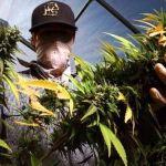 Aumentan cultivos ilegales de marihuana en California