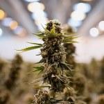 Cofepris dará a conocer reglamento para siembra y cosecha de la marihuana