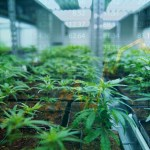 Empresas de cannabis ya superan a Amazon y Apple