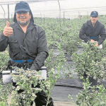 La firma colombiana que pasó de cultivar arándanos a cannabis medicinal