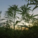 Productores de marihuana del Triángulo Dorado buscan esquema legal