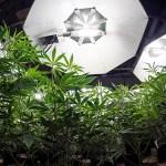 20 consejos básicos para cultivar marihuana