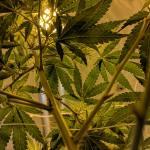 Policía acompaña a una jubilada ebria a su casa y encuentra una enorme granja de cannabis