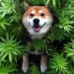 Analizan los beneficios del aceite de cannabis en tratamiento de perros con epilepsia
