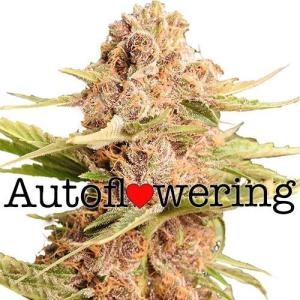 Girl Scout Cookies Extreme Auto Flowering Cannabis Seeds
