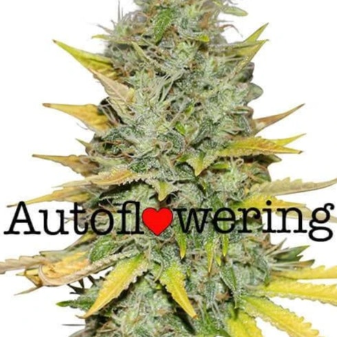 Gold Leaf Auto Flowering Cannabis Seeds